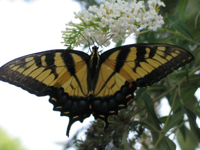 butterflyyellowmonarch