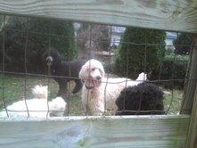 boscoanddogsinbackyard