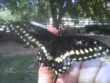butterflyfullwingspreadonfinger
