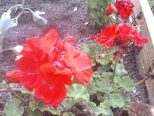 geraniumswithvegetables